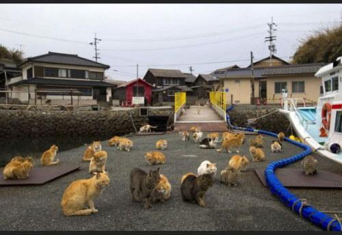 Aoshima, l'isola dei gatti in Giappone