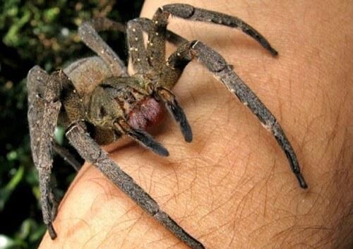 Può il veleno di ragno curare la disfunzione erettile?