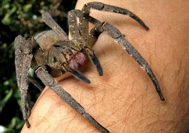 veleno ragno disfunzione erettile