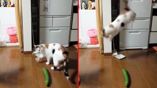 gatto paura cetriolo