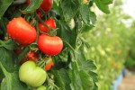 Pomodori nello Spazio: il progetto che rivoluzionerà l'alimentazione degli astronauti