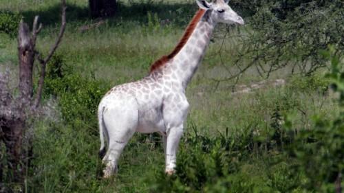 Giraffa bianca avvistata in Tanzania, scatta l'allarme bracconaggio