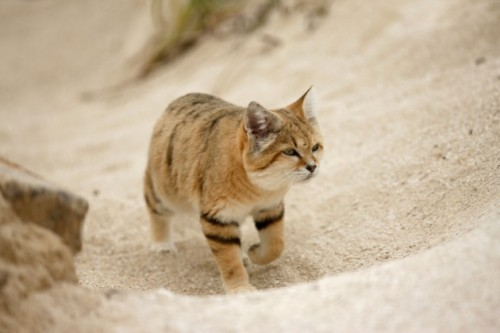Natura: fotografato un rarissimo gatto delle sabbie
