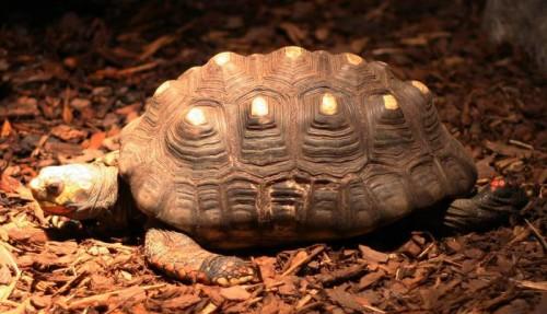 Una tartaruga sopravvive 34 anni in una soffitta