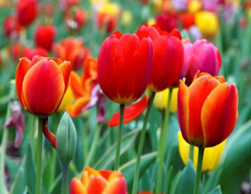 http://scienzenotizie.it/wp-content/uploads/2016/12/tulipani-500x387.jpg