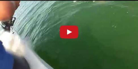 Squalo divorato da una cernia gigante - Youtube