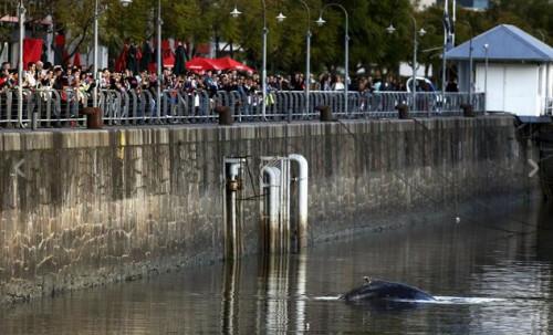 Balena a Buenos Aires