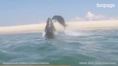 Squalo bianco attacca un'otaria che riesce a salvarsi, il video - Fanpage