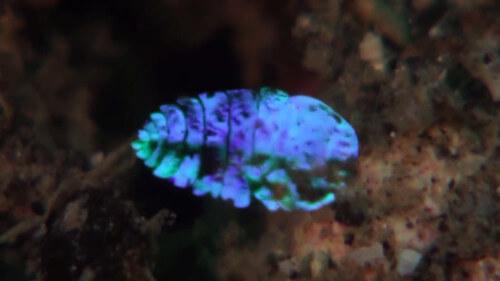 crostaceo zaffiro di mare invisibile