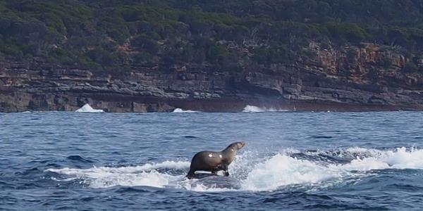 foto foca cavalca balena