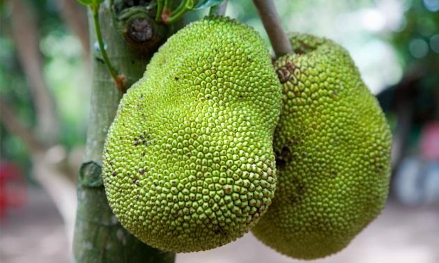 giaca frutto