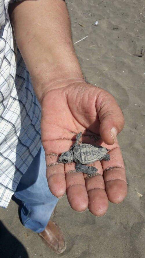 Strage di tartarughe caretta caretta ad Eboli - fonte www.ilmattino.it