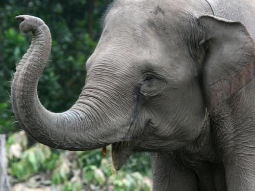 elefante cancro