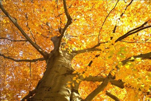 04_fagus_autunno