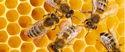 api coleottero