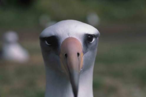 wisdom_albatros
