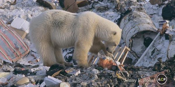 orsi polari spazzatura