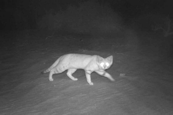 gatto delle sabbie 1