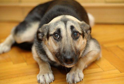 cane-paura