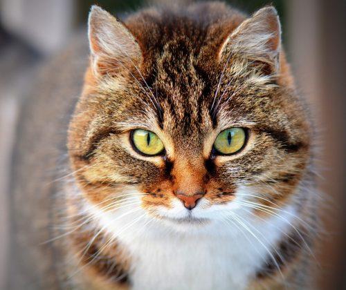 Chi Ama I Gatti è Più Intelligente Rispetto A Chi Preferisce I Cani